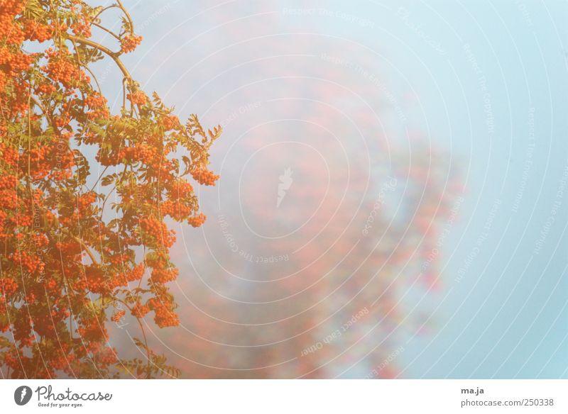 Kan schinnern Baam gibts wie ann Vugelbeerbaam [Fototapete] blau grün Baum Pflanze Herbst orange Schönes Wetter Vogelbeerbaum