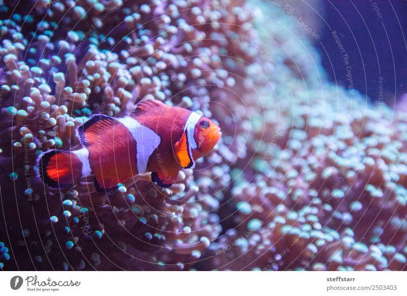 Ocellaris Clownfisch Amphiprion Ocellaris Korallenriff Tier Wildtier Fisch Tiergesicht 1 orange weiß Amphiprion ocellaris Orangenfisch Meeresfische