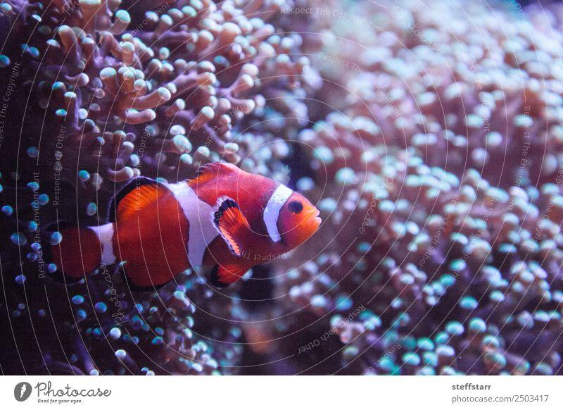 Ocellaris Clownfisch Amphiprion Ocellaris Korallenriff Tier Wildtier Fisch 1 orange weiß Amphiprion ocellaris Orangenfisch Meeresfische tropische Fische