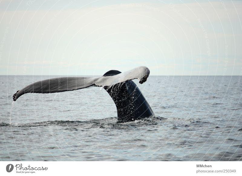 Untertauchen blau Ferien & Urlaub & Reisen Meer Tier Ausflug Abenteuer Wassertropfen Schwimmen & Baden frei Unendlichkeit tauchen friedlich Wal Schwanzflosse Buckelwal