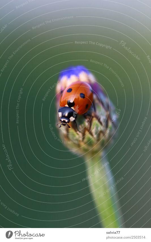 bald blüht sie Natur Sommer Pflanze Blume Blüte Blütenknospen Kornblume Garten Wiese Wildtier Käfer Siebenpunkt-Marienkäfer Insekt 1 Tier krabbeln Lebensfreude