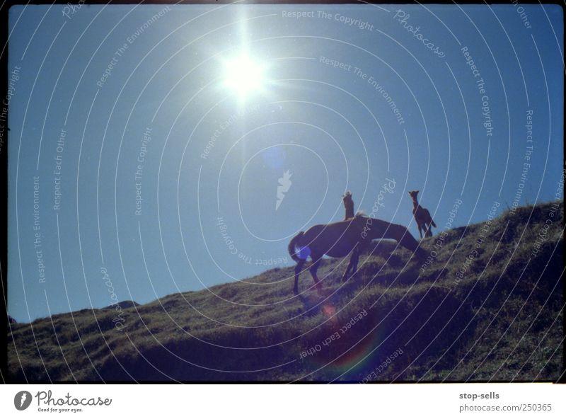 Mittagessen auf dem Gebirgskamm Himmel Natur Pflanze Sonne Tier Freiheit Berge u. Gebirge Umwelt Landschaft Gras Wärme Luft Erde Wildtier Pferd authentisch