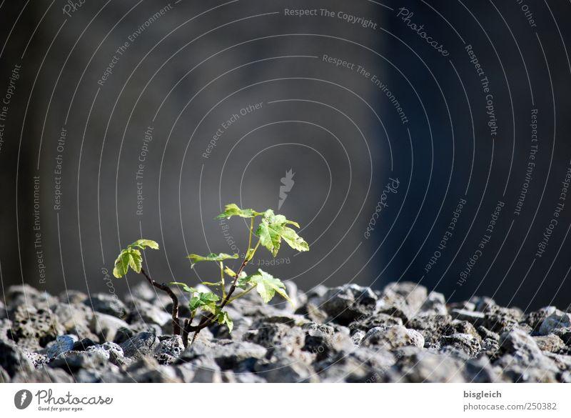 Against All Odds Umwelt Natur Pflanze Blatt Grünpflanze Stein Wachstum positiv rebellisch grau grün Tapferkeit selbstbewußt Optimismus Kraft Willensstärke Mut