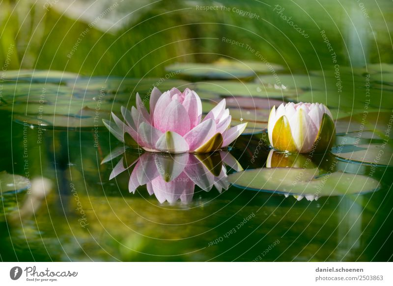 Teichrose Natur Pflanze Wasser Blatt Blüte Lotos grün rosa ruhig Seerosen Farbfoto Menschenleer Textfreiraum oben Textfreiraum unten Schwache Tiefenschärfe