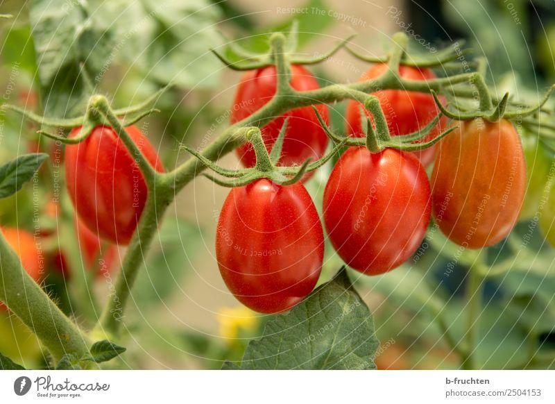 Datteltomaten Lebensmittel Gemüse Bioprodukte Gesundheit Garten Gartenarbeit Sommer Pflanze Sträucher Nutzpflanze wählen frisch rot Tomate Rispentomate Blüte