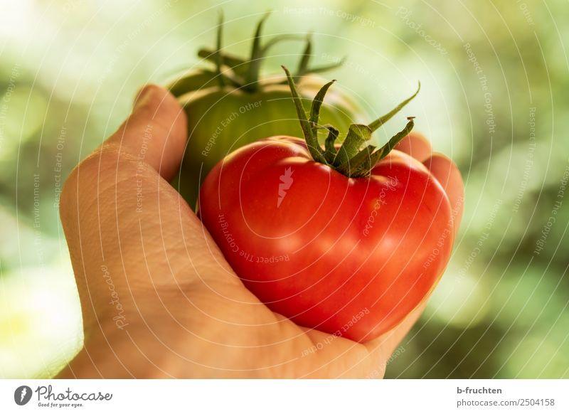 Fleischtomaten Mann Sommer Gesunde Ernährung grün Hand rot Essen Erwachsene Gesundheit Herbst Lebensmittel 2 paarweise frisch groß Freundlichkeit