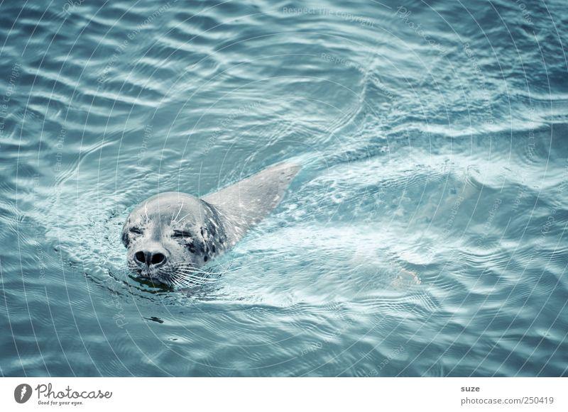 Augen zu und durch Meer Wellen Natur Tier Wasser Wildtier Tiergesicht 1 Schwimmen & Baden Neugier niedlich wild blau Robben Seehund Kopf Wasseroberfläche