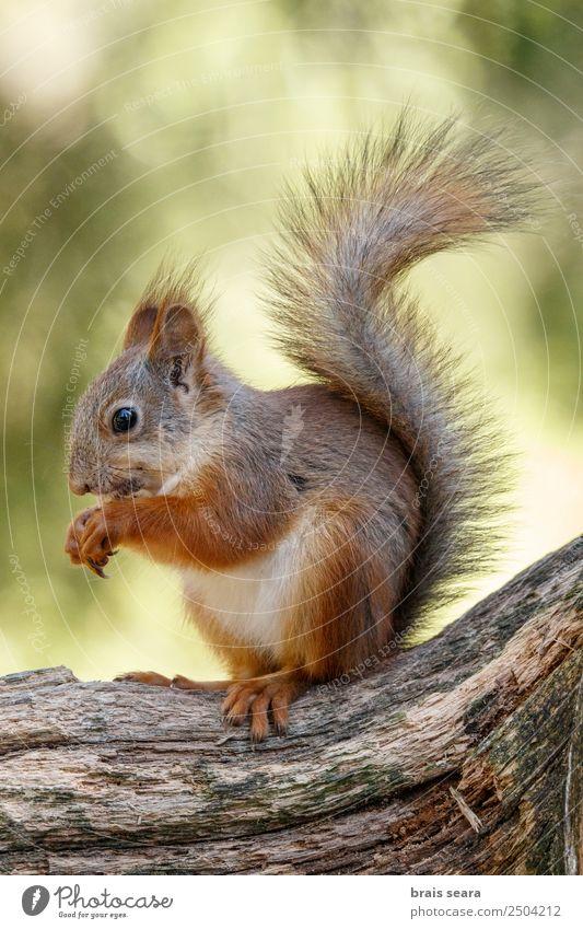 Rotes Eichhörnchen frisst Freizeit & Hobby Bildung Wissenschaften Biologie Umwelt Natur Tier Erde Wald Wildtier 1 ardilla roja Fauna Tiere Säugetier Finnland