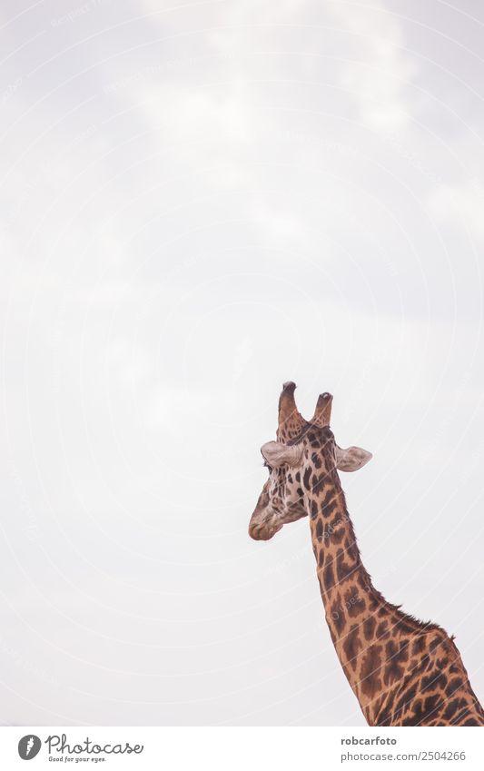 Giraffen in der Masai Mara in Kenia Afrika Ferien & Urlaub & Reisen Tourismus Ausflug Safari Sommer Natur Landschaft Tier Himmel Wärme Gras Park Wiese Herde