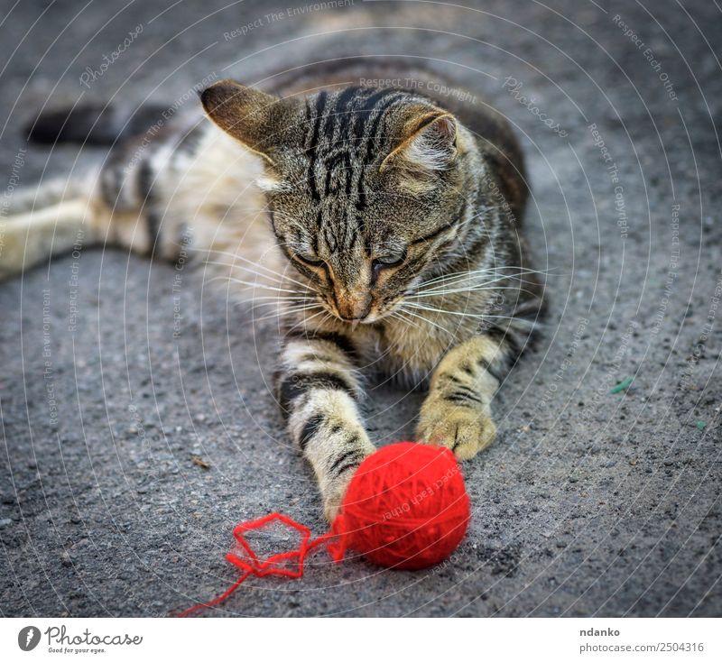 junges graues Kätzchen Sommer Natur Tier Haustier Katze 1 liegen Spielen niedlich rot Tabby heimisch Katzenbaby Auge Säugetier gestreift Ball Lügen Wollstoff