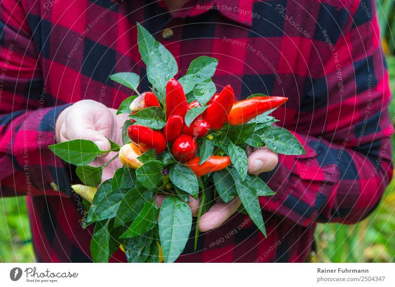 """ein Gärtner hat Paprikaschoten geerntet Mensch maskulin Mann Erwachsene 1 Umwelt Natur Pflanze """"Gemüse Paprika"""" Garten Arbeit & Erwerbstätigkeit nachhaltig"""