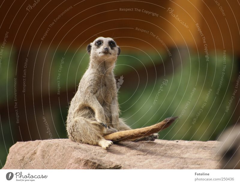 Potent! Natur Tier Umwelt sitzen wild natürlich Wildtier beobachten Fell Schwanz Erdmännchen