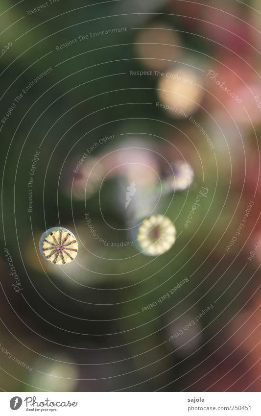 verblühte schönheit Umwelt Natur Pflanze Blume Wildpflanze Mohn Mohnkapsel ästhetisch Vergänglichkeit Farbfoto Außenaufnahme Nahaufnahme Detailaufnahme
