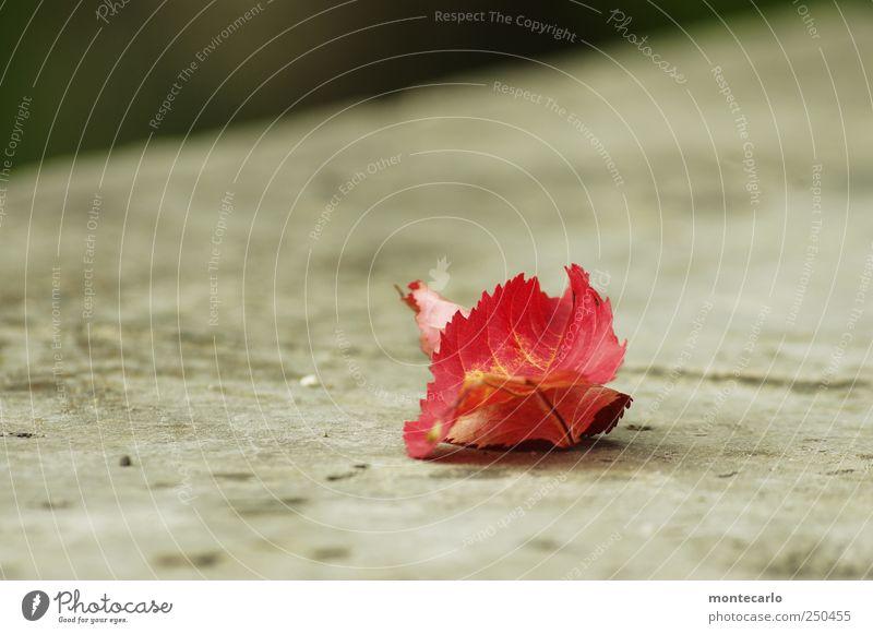 Vergänglich Natur Pflanze rot Blatt Wand Herbst Umwelt grau Mauer Park Nebel natürlich authentisch einfach Seeufer Terrasse