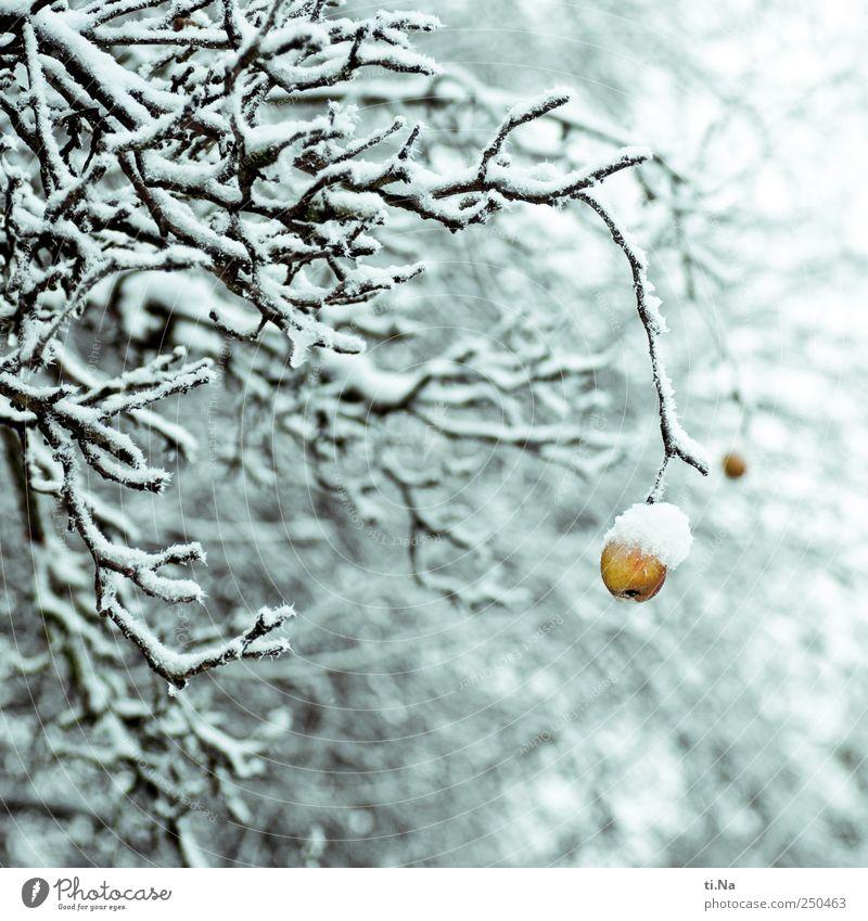 Apfel blau weiß gelb hell warten festhalten frieren hängen Pflanze