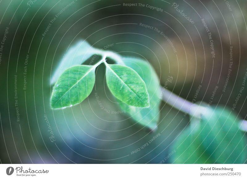 Twins Natur Pflanze Frühling Blatt Grünpflanze grün Zwilling Wachstum paarweise Farbfoto Außenaufnahme Nahaufnahme Detailaufnahme Tag Licht Kontrast Unschärfe