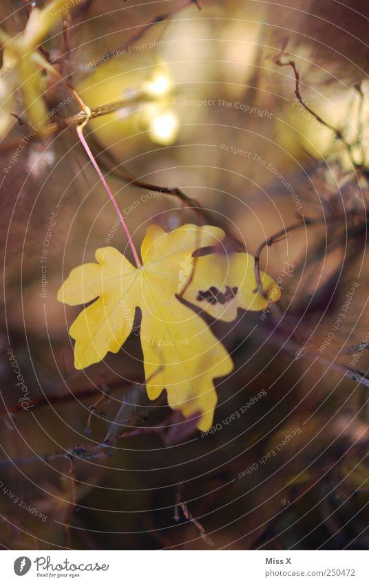 schönes Blatt gelb Herbst Sträucher Ast Zweig Herbstlaub herbstlich Zweige u. Äste