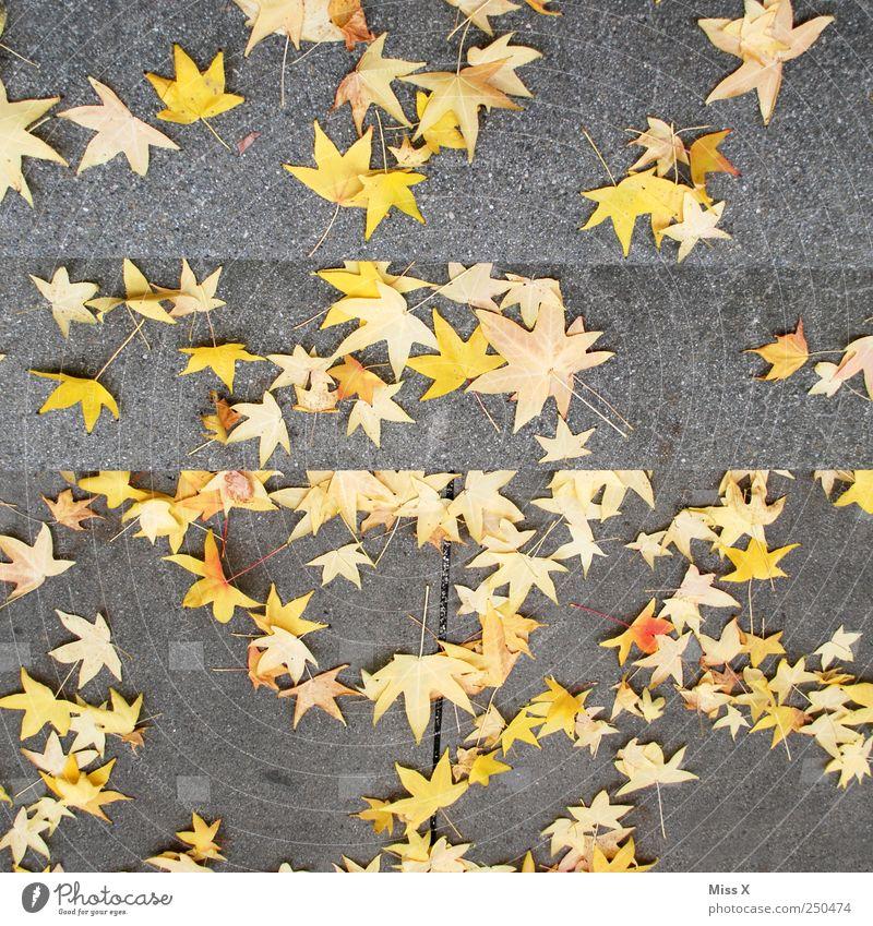 Sterntaler Herbst Blatt fallen Stern (Symbol) Ahorn Ahornblatt Herbstlaub herbstlich Herbstfärbung Farbfoto mehrfarbig Außenaufnahme Muster Menschenleer