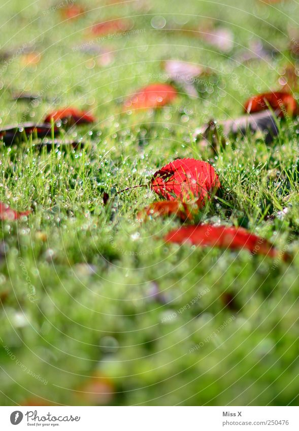 früh am Morgen Natur Pflanze rot Blatt Wiese Gras Regen nass Wassertropfen Tau herbstlich Herbstfärbung