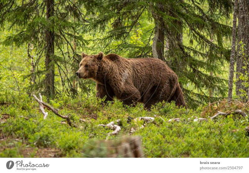 Braunbär im Wald Safari Biologe Jäger Umwelt Natur Tier Erde Baum Wildtier Bär 1 wild Tierliebe gefährlich Freiheit Umweltschutz Tiere Tierwelt Akkordata