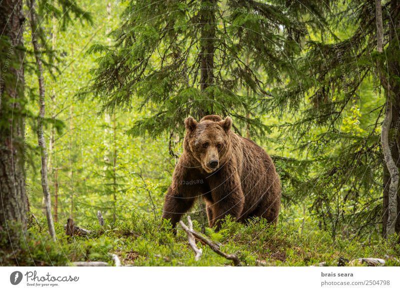 Braunbär im Wald Abenteuer Safari Camping Jagd Landwirtschaft Forstwirtschaft Umwelt Natur Tier Erde Baum Pelzmantel Wildtier Bär 1 Tierliebe Umweltschutz