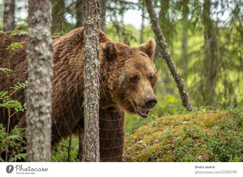 Braunbär Safari Umwelt Natur Tier Erde Baum Wald Wildtier Tiergesicht Bär 1 gigantisch schön wild braun Tierliebe Umweltschutz Tiere Tierwelt Akkordata