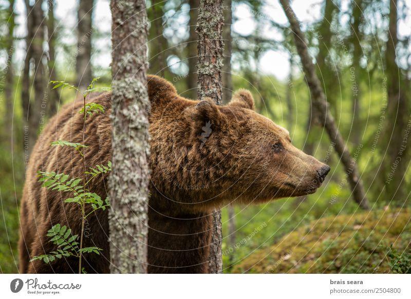 Braunbär-Porträt Safari Expedition Wissenschaften Biologie Jäger Umwelt Natur Tier Erde Baum Wald Wildtier Bär 1 natürlich Tierliebe gefährlich Umweltschutz