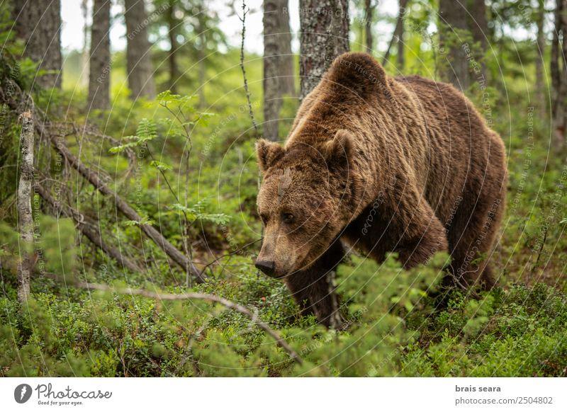 Braunbär Ferien & Urlaub & Reisen Abenteuer Biologie Jäger Landwirtschaft Forstwirtschaft Umwelt Natur Tier Erde Baum Wald Wildtier Bär 1 Vorsicht Umweltschutz