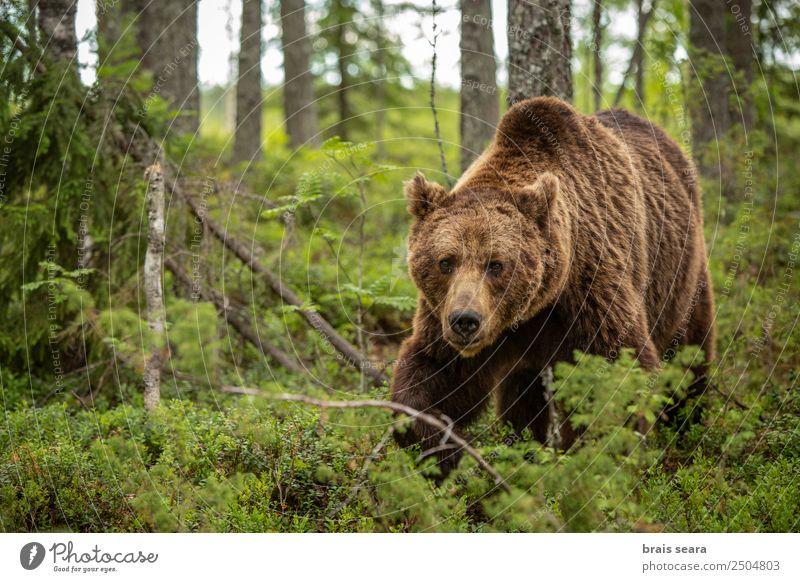 Braunbär Ferien & Urlaub & Reisen Abenteuer Wissenschaften Biologie Jäger Umwelt Natur Tier Erde Pflanze Baum Wald Wildtier 1 wild Tierliebe Umweltschutz Tiere