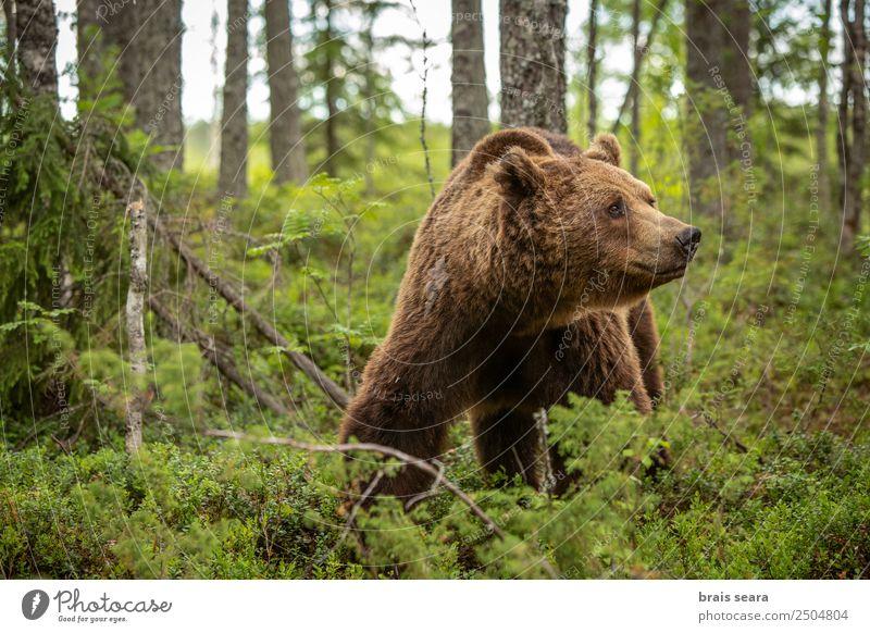 Natur Ferien & Urlaub & Reisen Baum Tier Wald Umwelt Erde braun wild Wildtier Europa Wissenschaften Säugetier Umweltschutz Bär Tierliebe
