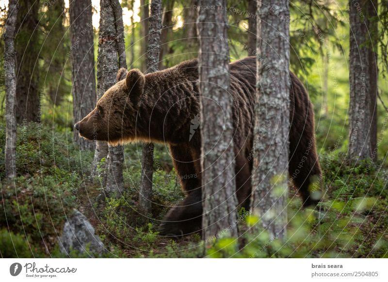 Natur Baum Tier Wald Umwelt Erde wild Wildtier Europa Wissenschaften Säugetier Europäer Umweltschutz Bär Tierliebe Jäger