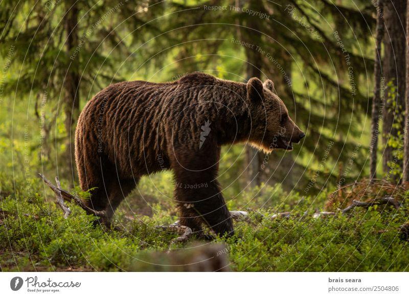 Natur Baum Tier Wald Umwelt Erde wild Wildtier Europa Landwirtschaft Wissenschaften Säugetier Europäer Forstwirtschaft Bär Tierliebe