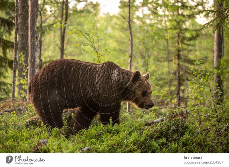 Braunbär im Wald. Ferien & Urlaub & Reisen Wissenschaften Biologie Biologe Jäger Umwelt Natur Tier Erde Baum Finnland Wildtier Bär 1 wild Tierliebe Tiere