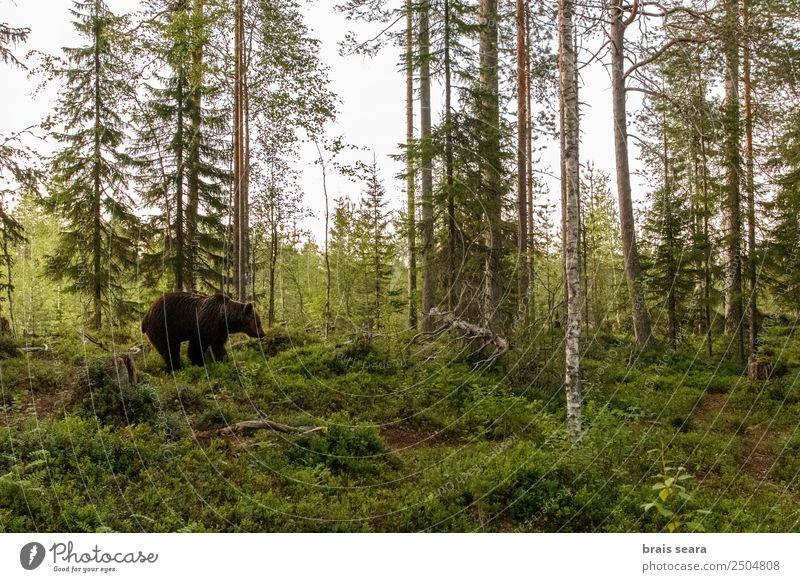 Braunbär im Wald Wissenschaften Biologie Biologe Jäger Landwirtschaft Forstwirtschaft Natur Tier Erde Wildtier Bär 1 wild Willensstärke Tierliebe Umwelt Tiere