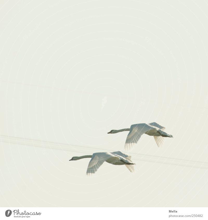 Schwanenflug Umwelt Natur Tier Luft Himmel Vogel 2 Tierpaar Bewegung fliegen ästhetisch frei Zusammensein hell natürlich elegant Freiheit Flügel gefiedert