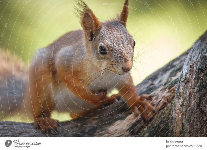 Rotes Eichhörnchen. Essen Lifestyle Glück Gesicht Winter Schnee Umwelt Natur Tier Erde Herbst Baum Park Wald Pelzmantel Haustier Wildtier 1 füttern lustig
