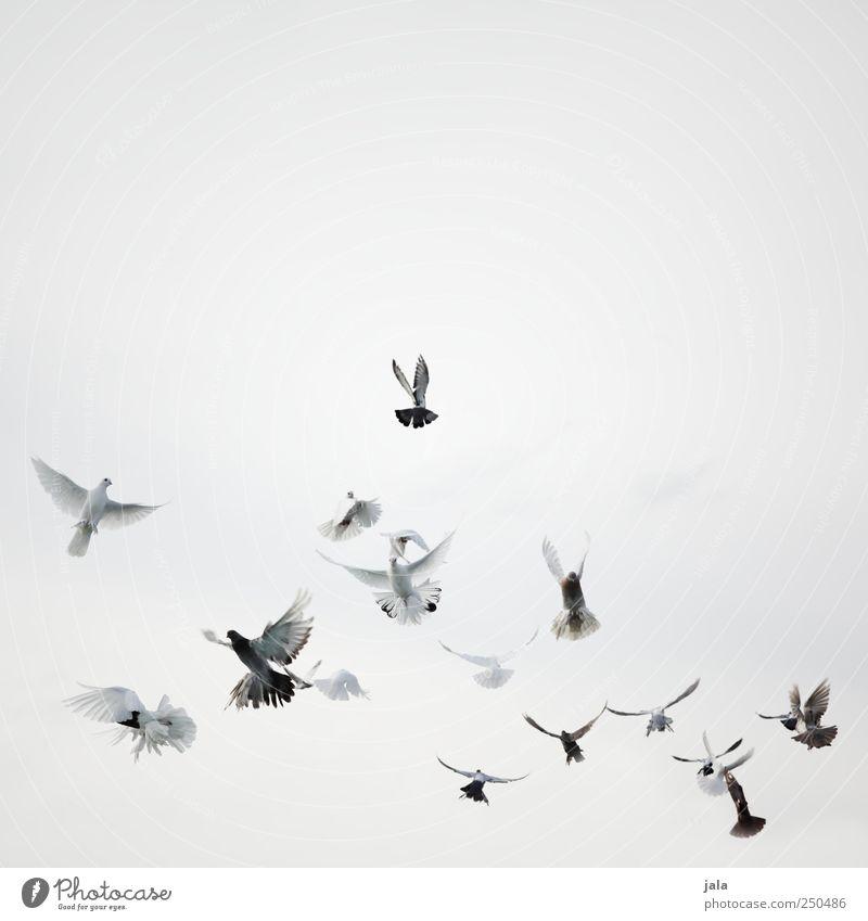 flügelschläger Feste & Feiern Himmel Tier Vogel Taube Schwarm fliegen ästhetisch schön grau schwarz weiß Farbfoto Außenaufnahme Menschenleer Textfreiraum oben
