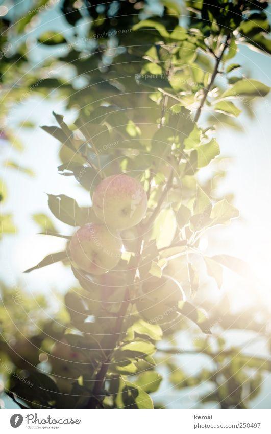 Bald ist Erntezeit Frucht Apfel Umwelt Natur Pflanze Himmel Sommer Schönes Wetter Baum Blatt Nutzpflanze Apfelbaum Apfelbaumblatt Ast hängen Wachstum frisch