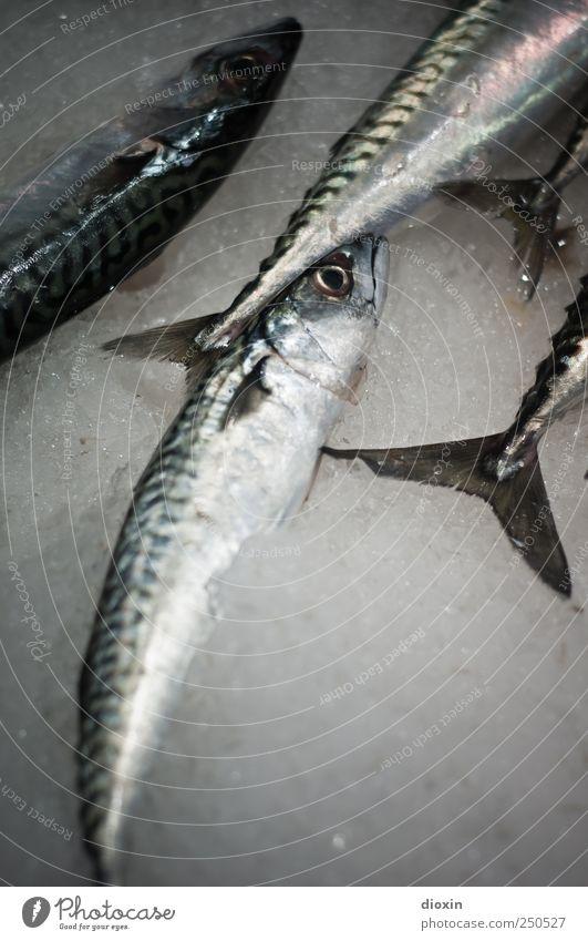 friday again Tier Ernährung kalt Lebensmittel Eis liegen frisch Fisch Tiergruppe Fischereiwirtschaft Protein Fischmarkt Makrele Totes Tier