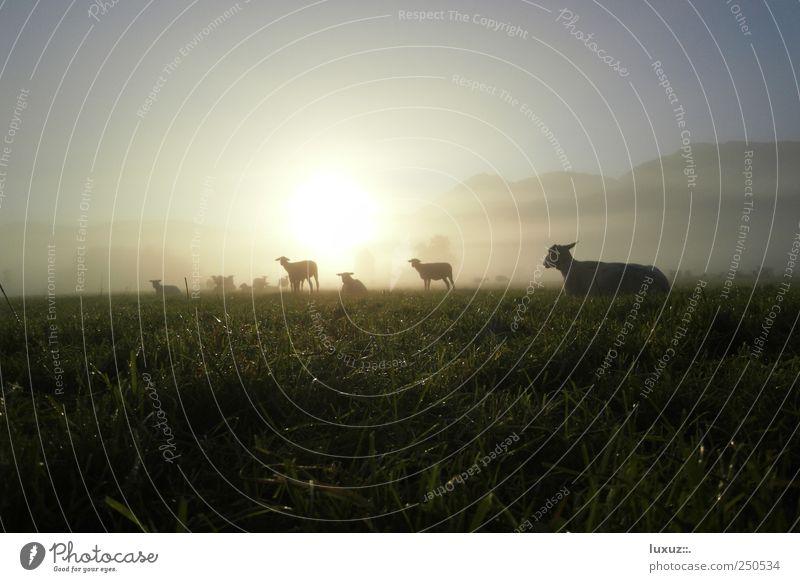 Schafe Natur Nutztier Herde nachhaltig friedlich Gelassenheit Nebel Tau Morgendämmerung Wiese Weide Tier Wolle Lamm Trägheit Silhouette