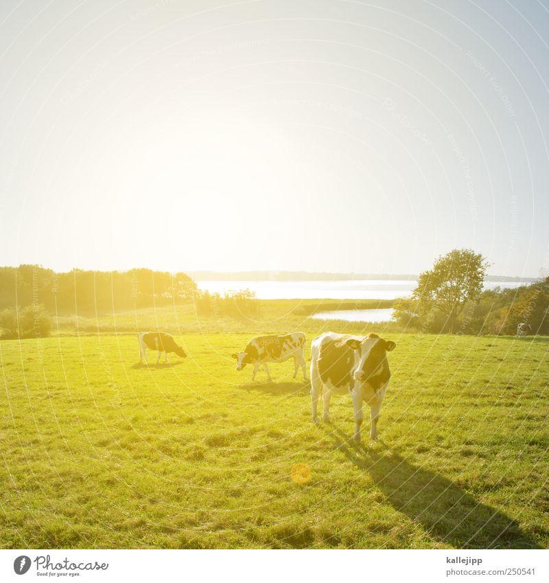 stehen kühe auf meiner landebahn Wirtschaft Landwirtschaft Forstwirtschaft Umwelt Natur Landschaft Pflanze Tier Wolkenloser Himmel Horizont Sonnenaufgang
