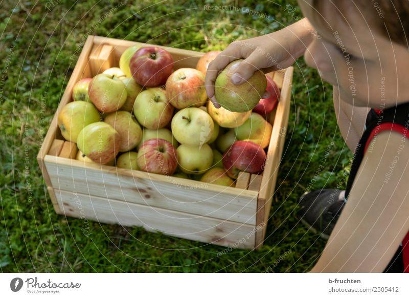 leckere Äpfel Lebensmittel Frucht Picknick Bioprodukte Gesunde Ernährung Gartenarbeit Kind Gesicht Hand 1 Mensch Sommer Gras Wiese Kasten Holz wählen festhalten
