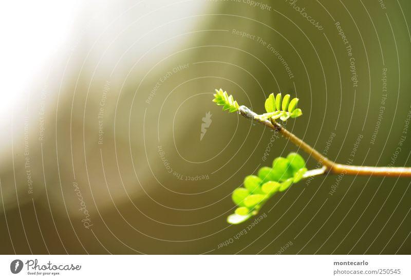 Nachwuchs Umwelt Natur Pflanze Sonnenlicht Schönes Wetter Sträucher Blatt Grünpflanze Topfpflanze exotisch sophora Park ästhetisch elegant schön weich grau grün