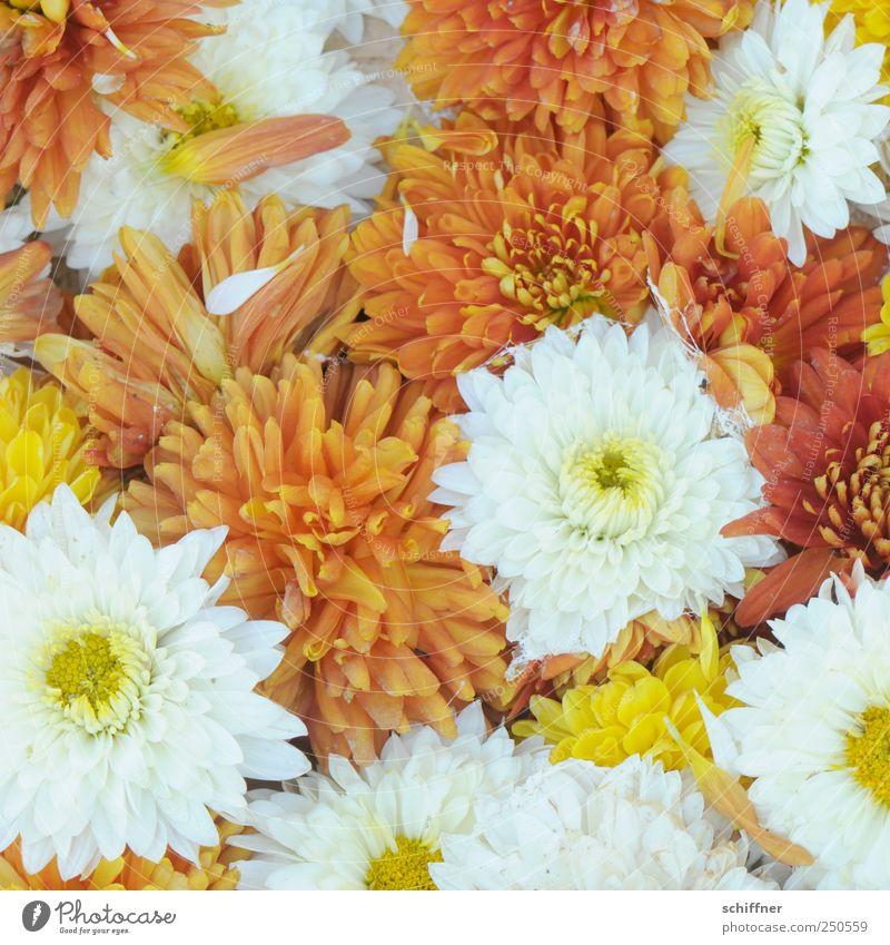Gruppenkuscheln Pflanze weiß Blume gelb Blüte orange Freundlichkeit viele Duft positiv Blütenblatt eng Zärtlichkeiten Chrysantheme