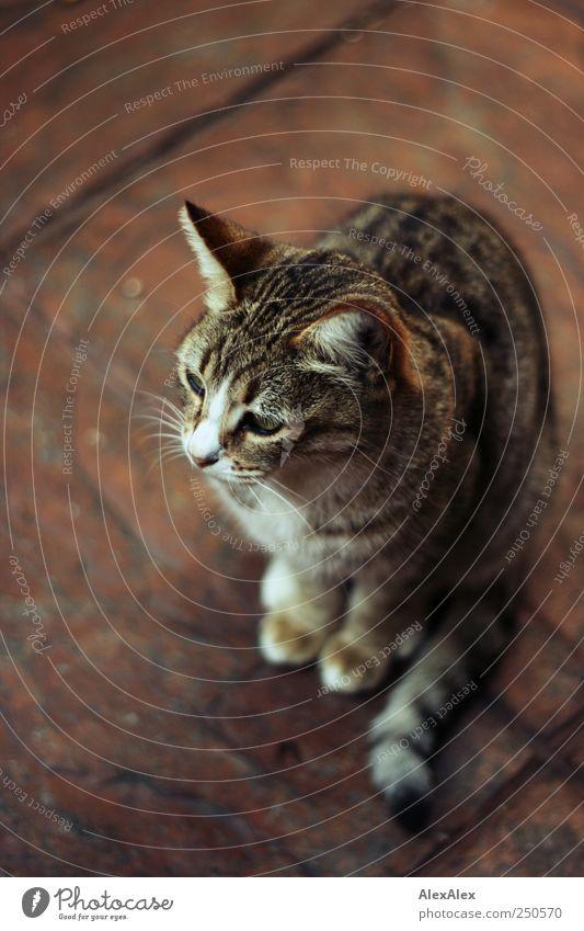 Mietzekatze rot Tier Katze braun sitzen niedlich Fliesen u. Kacheln Gelassenheit Haustier hocken Tigerfellmuster