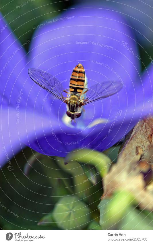 Schwebefliege küsst Blüte Natur Pflanze Tier Sommer Schönes Wetter Blume Topfpflanze Garten Wildtier Fliege Tiergesicht Flügel 1 berühren Bewegung Blühend Duft