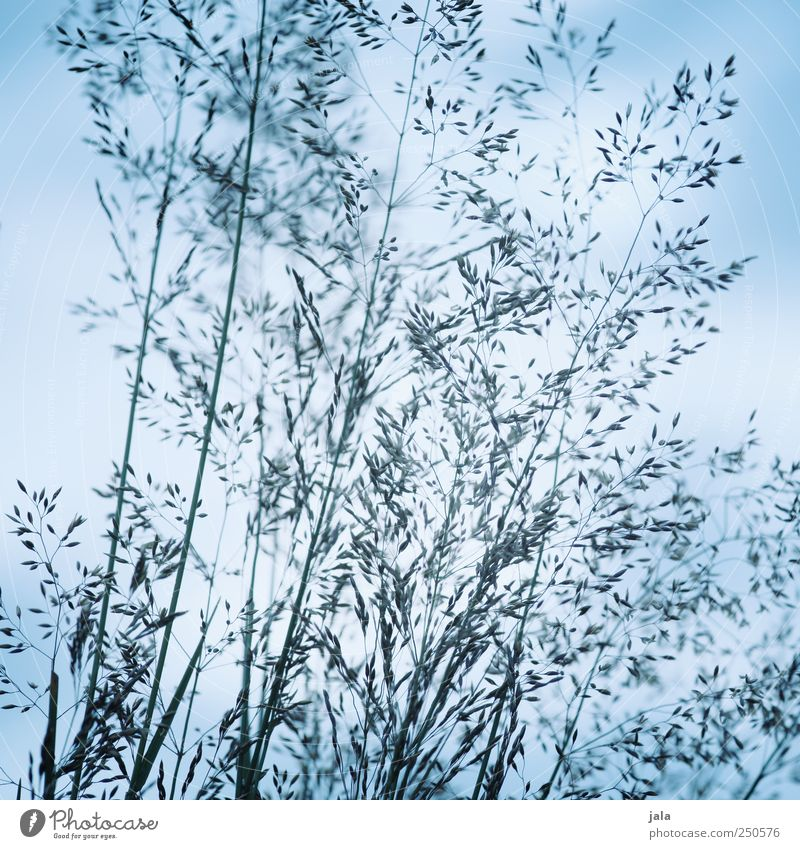 gräser Himmel Natur blau Pflanze Wiese Umwelt Gras natürlich Grünpflanze Wildpflanze