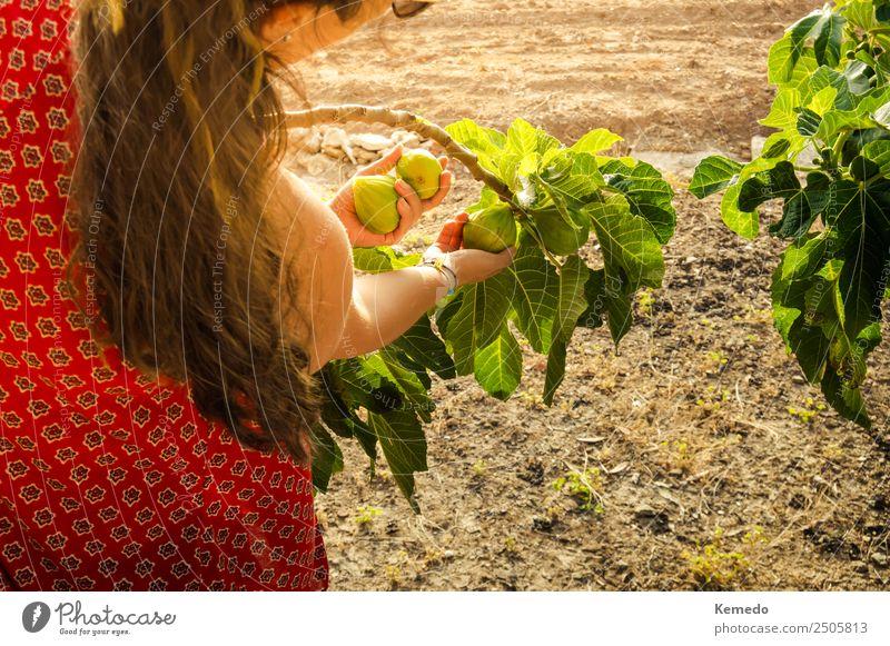 Junge Frau, die bei Sonnenuntergang Feigen vom Baum pflückt. Gemüse Frucht Lifestyle Freizeit & Hobby Sommer Sonnenbad Garten Gartenarbeit Landwirtschaft
