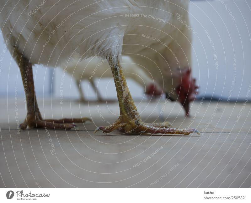 Vogelperspektive Tier Nutztier Haushuhn Sammlung Kunst skurril Farbfoto Innenaufnahme Textfreiraum unten Schwache Tiefenschärfe Totale