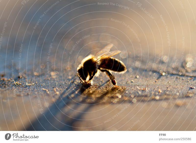Herbstsonne tanken Natur Tier Umwelt Flügel Idylle Biene Nutztier